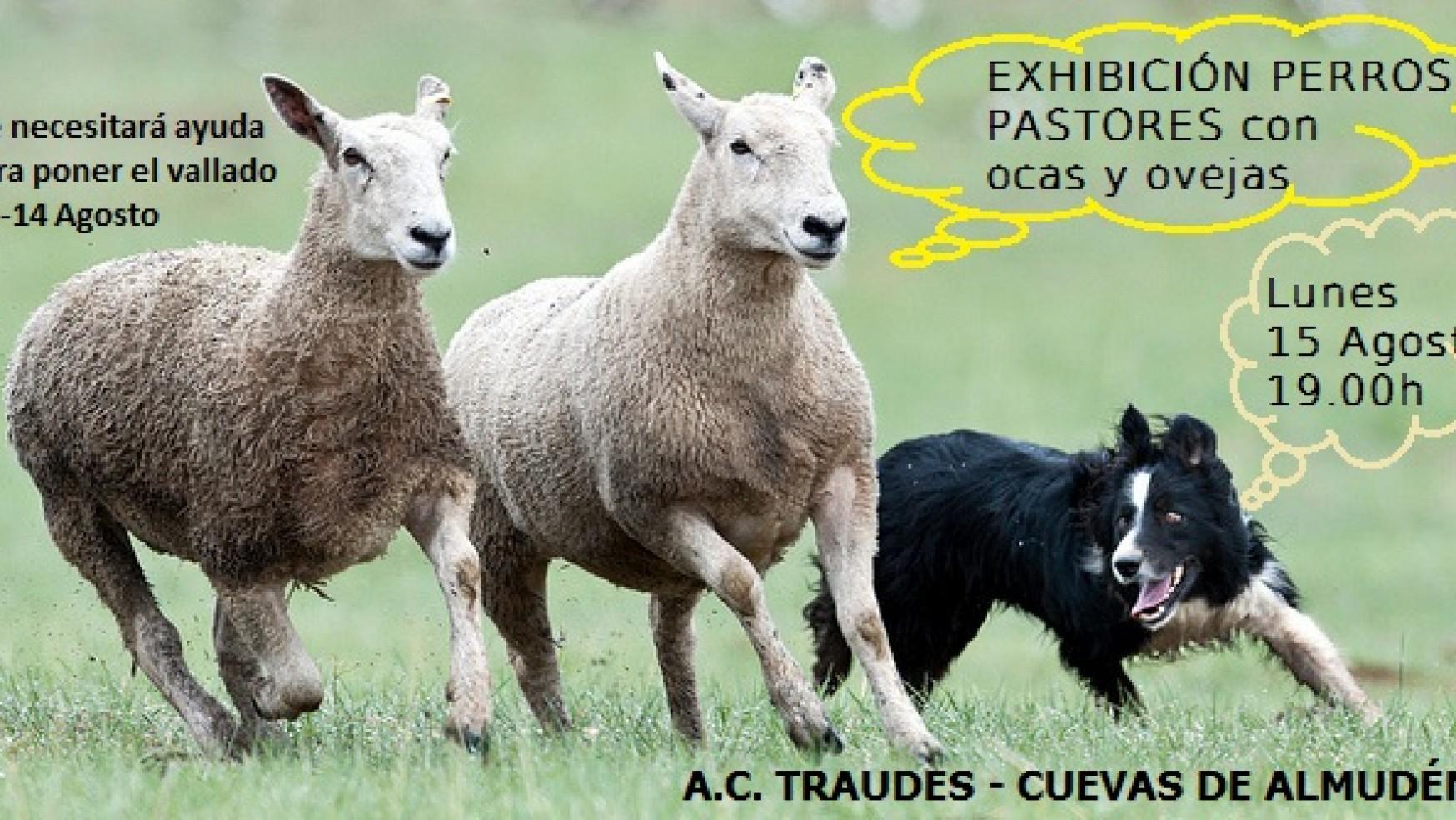Exhibición de perros pastores